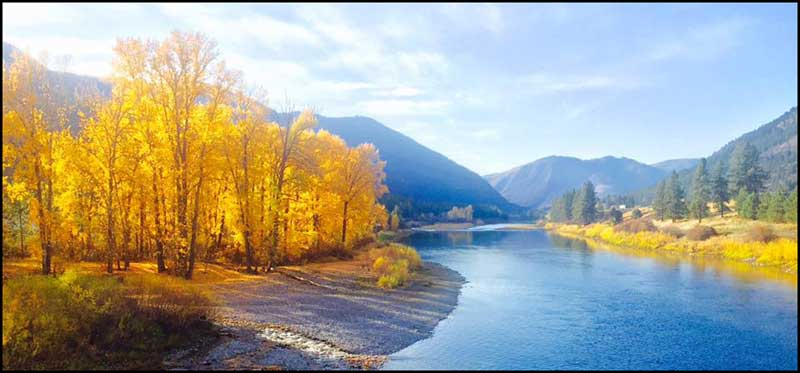 Beautiful fall day with the cottonwoods turning yellow in a brilliant light on the banks looking up the pristine blue water of the Clark Fork River.